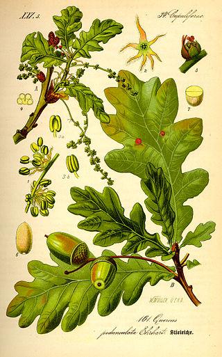 Rebollo (Quercus pyrenaica)