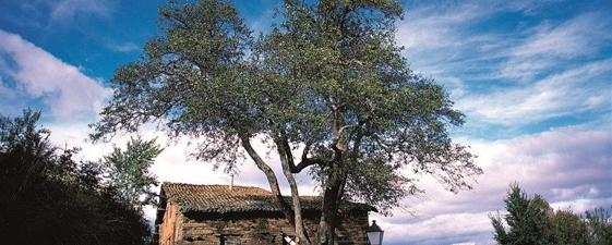 Peral de la Hiruela (Ruta Cerezo del Puente de las Cabras y Rebollos de Puebla de la Sierra (Madrid))