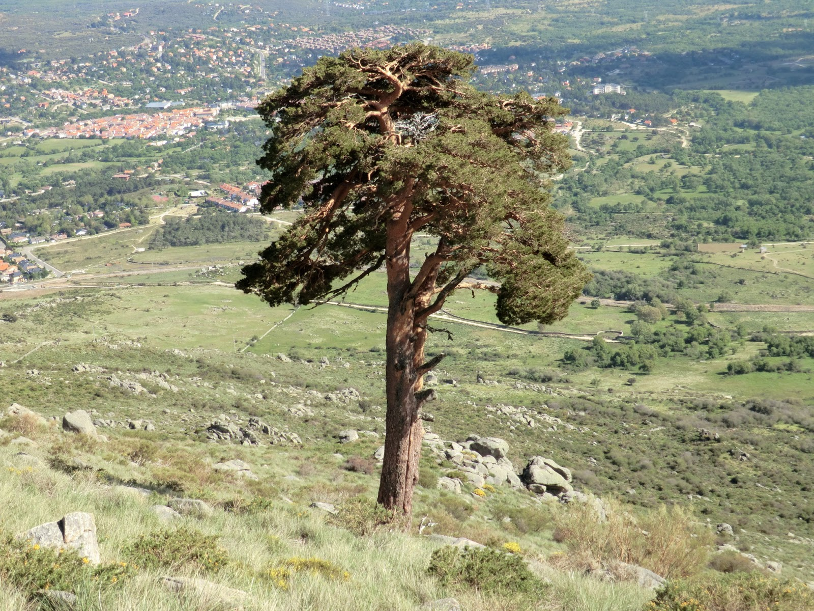 Pino San Roque
